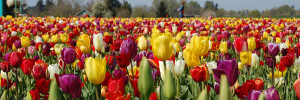 Tulips in bloom in the Willamette Valley