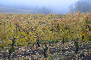 wine grapes in the Willamette Valley